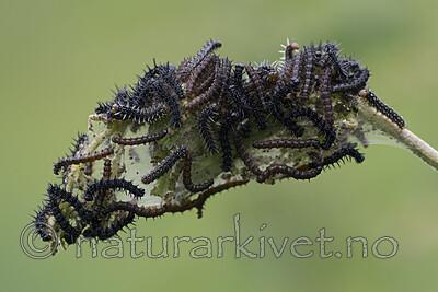 BB_20200622_0046 / Aglais urticae / Neslesommerfugl <br /> Urtica dioica / Stornesle
