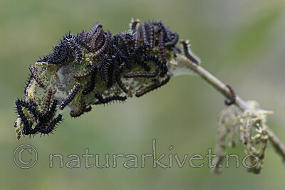 BB_20200622_0067 / Aglais urticae / Neslesommerfugl <br /> Urtica dioica / Stornesle