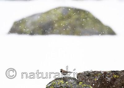BB_20200707_0688 / Eremophila alpestris / Fjellerke