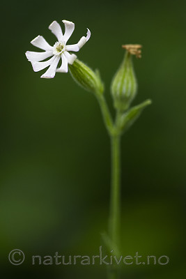 BB_20200719_0389 / Silene noctiflora / Nattsmelle
