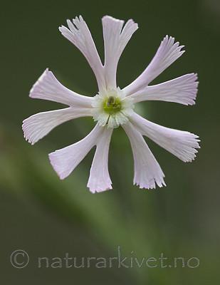 BB_20200719_0423 / Silene noctiflora / Nattsmelle