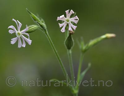 BB_20200719_0453 / Silene noctiflora / Nattsmelle