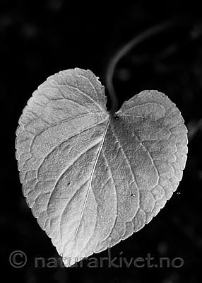 BB_20200810_0089-2 / Viola mirabilis / Krattfiol