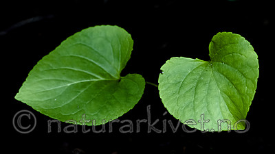 BB_20200810_0096 / Viola mirabilis / Krattfiol
