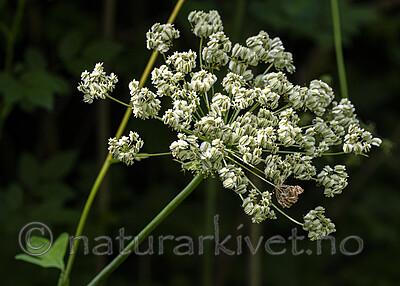 BB_20200810_0284 / Laserpitium latifolium / Hvitrot
