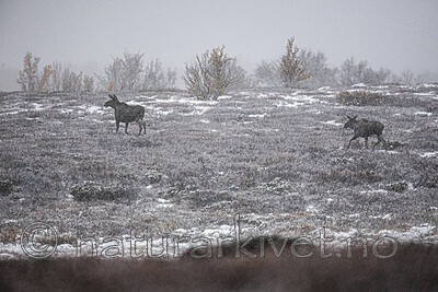 BB_20200926_0074 / Alces alces / Elg