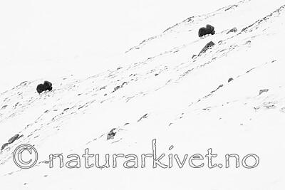 BB_20210222_0015 / Ovibos moschatus / Moskusfe