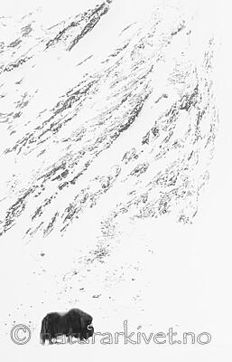 BB_20210222_0066-2 / Ovibos moschatus / Moskusfe