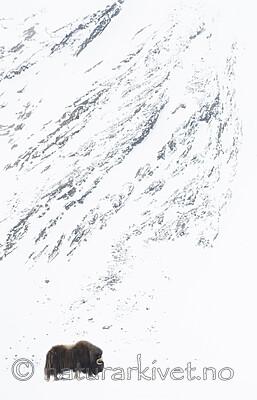 BB_20210222_0066 / Ovibos moschatus / Moskusfe
