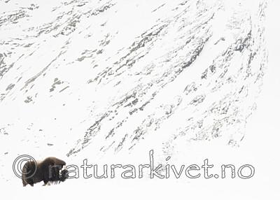 BB_20210222_0108 / Ovibos moschatus / Moskusfe