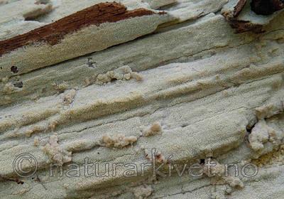 DSC_504004 / Odonticium romellii / Taigapiggskinn