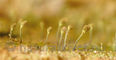 DSC_5441 / Chaenotheca laevigata / Taiganål