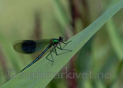 DSC_5568 / Calopteryx splendens / Blåbånd-vannymfe