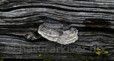 DSC_5858 / Gloeophyllum protractum / Langkjuke