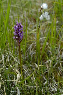DSC_5900 / Eriophorum latifolium / Breimyrull