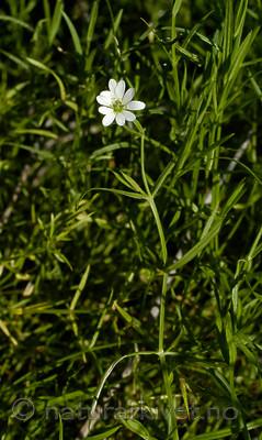 DSC_6575 / Stellaria palustris / Myrstjerneblom