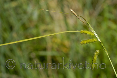 DSC_6782 / Carex pseudocyperus / Dronningstarr