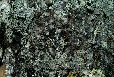 DSC_7664 / Pseudographis pinicola / Gammelgranskål