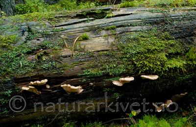 DSC_7704 / Lentinellus castoreus / Beversagsopp