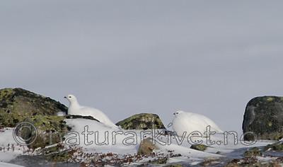 DSC_8312 / Lagopus muta / Fjellrype