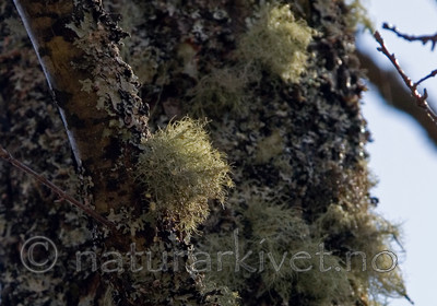 DSC_8721 / Usnea florida / Blomsterstry