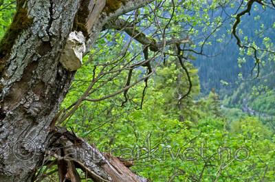DSC_9407 / Haploporus odorus / Nordlig aniskjuke <br /> Salix caprea / Selje
