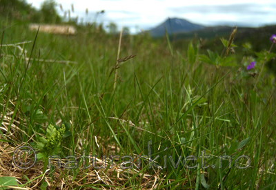 DSC_9589 / Botrychium boreale / Fjellmarinøkkel