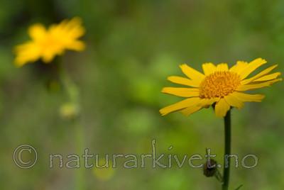 DSC_9697 / Arnica montana / Solblom