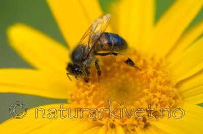 DSC_9720 / Apis mellifera / Honningbie <br /> Arnica montana / Solblom
