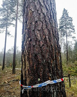 IMG_20201205_120429 / Pinus sylvestris / Furu
