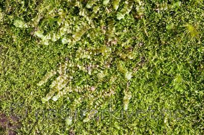 KA_05_1_3850 / Calypogeia suecica / Råteflak