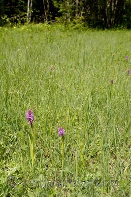 KA_06_1_0752 / Dactylorhiza incarnata / Engmarihand