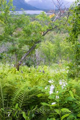 KA_06_1_1124 / Campanula latifolia / Storklokke