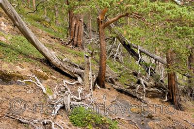 KA_06_1_1232 / Pinus sylvestris / Furu