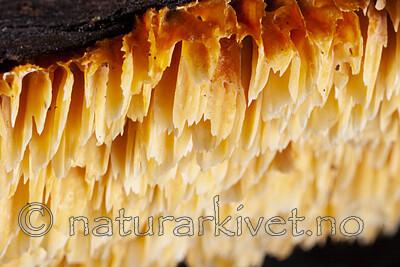 KA_06_1_1341 / Pycnoporellus alboluteus / Storporet flammekjuke