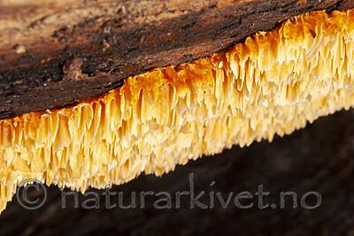 KA_06_1_1343 / Pycnoporellus alboluteus / Storporet flammekjuke