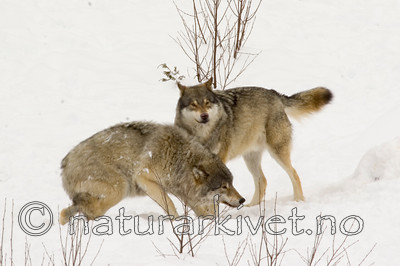 KA_07_1_0177 / Canis lupus / Ulv