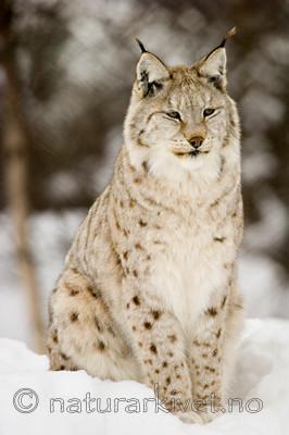 KA_07_1_0206 / Lynx lynx / Gaupe