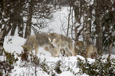 KA_07_1_0222 / Canis lupus / Ulv