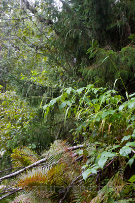 KA_07_1_1599 / Cinna latifolia / Huldregras