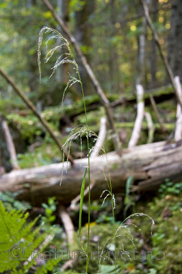 KA_07_1_1674 / Cinna latifolia / Huldregras