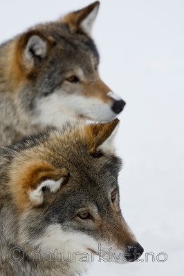 KA_08_1_0335 / Canis lupus / Ulv