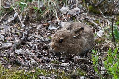 KA_08_1_0836 / Lepus timidus / Hare