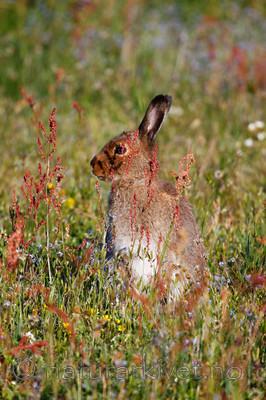 KA_08_1_1048_w / Lepus timidus / Hare