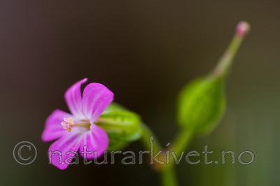 KA_08_1_1098 / Geranium lucidum / Blankstorkenebb