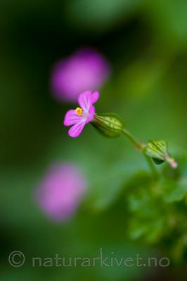 KA_08_1_1099 / Geranium lucidum / Blankstorkenebb