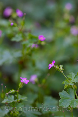 KA_08_1_1100 / Geranium lucidum / Blankstorkenebb