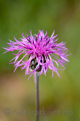 KA_08_1_1411 / Centaurea scabiosa / Fagerknoppurt