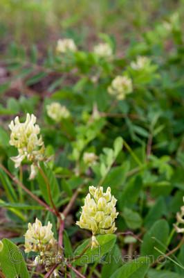 KA_08_1_1418 / Astragalus glycyphyllos / Lakrismjelt