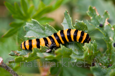 KA_08_1_1485 / Tyria jacobaeae / Karminspinner
